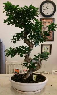 100 cm yüksekliğinde dev bonsai japon ağacı  Malatya ucuz çiçek gönder