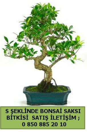 İthal S şeklinde dal eğriliği bonsai satışı  Malatya çiçek siparişi sitesi