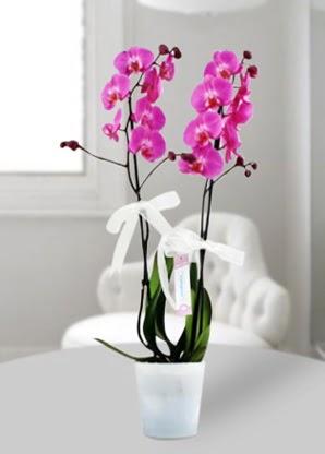 Çift dallı mor orkide  Malatya 14 şubat sevgililer günü çiçek