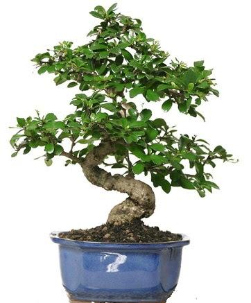 21 ile 25 cm arası özel S bonsai japon ağacı  Malatya internetten çiçek satışı