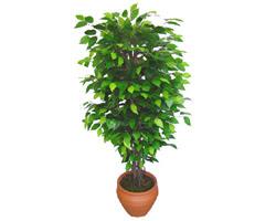 Ficus Benjamin 1,50 cm   Malatya yurtiçi ve yurtdışı çiçek siparişi