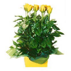 11 adet sari gül aranjmani  Malatya çiçek satışı