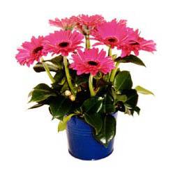 vazo içerisinde gerbera çiçekleri   Malatya çiçek online çiçek siparişi