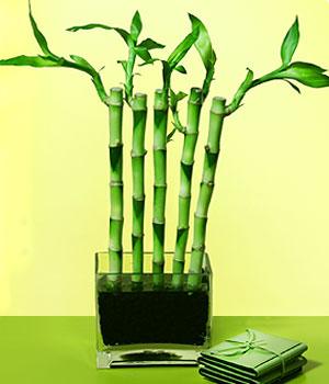 Malatya yurtiçi ve yurtdışı çiçek siparişi  Good Harmony Lucky Bamboo camda