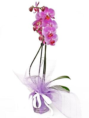 Malatya yurtiçi ve yurtdışı çiçek siparişi  Kaliteli ithal saksida orkide