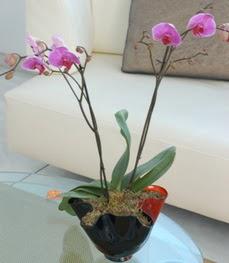 Malatya cicek , cicekci  tek dal ikili orkide saksi çiçegi