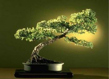 ithal bonsai saksi çiçegi  Malatya cicek , cicekci
