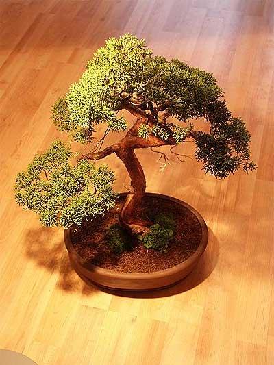 ithal bonsai saksi çiçegi  Malatya çiçek gönderme sitemiz güvenlidir