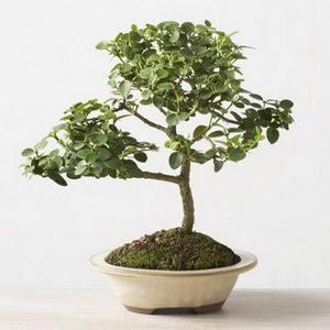 ithal bonsai saksi çiçegi  Malatya çiçek yolla , çiçek gönder , çiçekçi