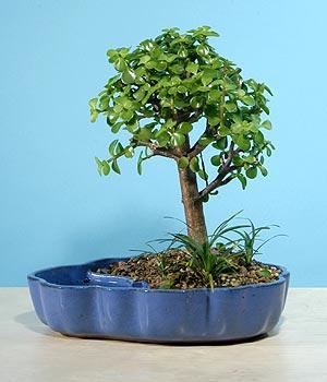 ithal bonsai saksi çiçegi  Malatya 14 şubat sevgililer günü çiçek
