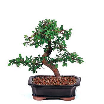 ithal bonsai saksi çiçegi  Malatya hediye sevgilime hediye çiçek