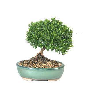 ithal bonsai saksi çiçegi  Malatya çiçek mağazası , çiçekçi adresleri