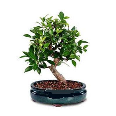 ithal bonsai saksi çiçegi  Malatya cicekciler , cicek siparisi