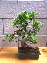 ithal bonsai saksi çiçegi  Malatya online çiçekçi , çiçek siparişi