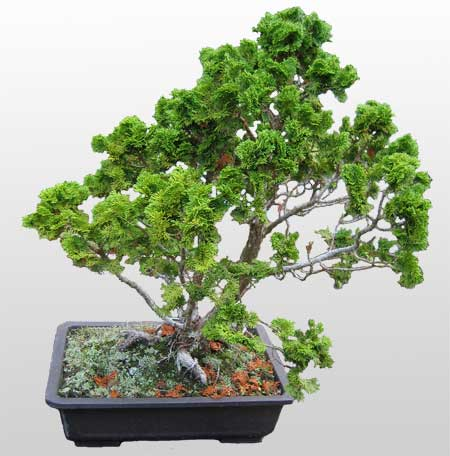 ithal bonsai saksi çiçegi  Malatya ucuz çiçek gönder