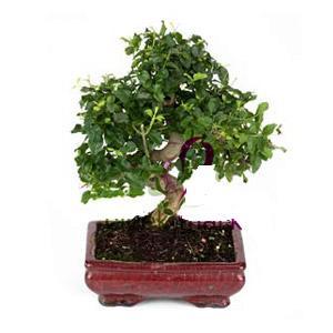 ithal bonsai saksi çiçegi  Malatya yurtiçi ve yurtdışı çiçek siparişi