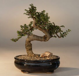 ithal bonsai saksi çiçegi  Malatya güvenli kaliteli hızlı çiçek