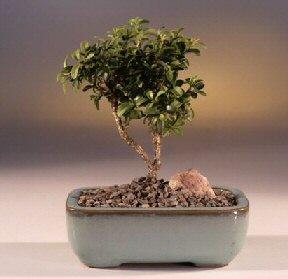 Malatya çiçekçi mağazası  ithal bonsai saksi çiçegi  Malatya uluslararası çiçek gönderme