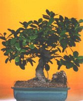 Malatya internetten çiçek satışı  ithal bonsai saksi çiçegi  Malatya anneler günü çiçek yolla