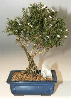 Malatya internetten çiçek siparişi  ithal bonsai saksi çiçegi  Malatya çiçek online çiçek siparişi