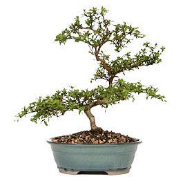 Malatya ucuz çiçek gönder  ithal bonsai saksi çiçegi  Malatya hediye çiçek yolla
