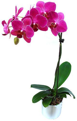 Malatya cicek , cicekci  saksi orkide çiçegi