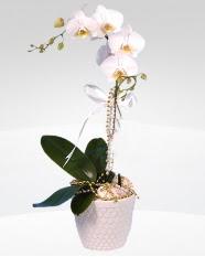 1 dallı orkide saksı çiçeği  Malatya çiçek satışı