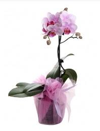 1 dal pembe orkide saksı çiçeği  Malatya çiçek yolla