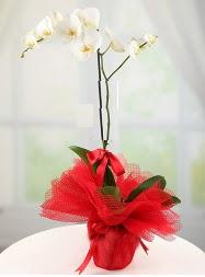 1 dal beyaz orkide saksı çiçeği  Malatya çiçekçi telefonları