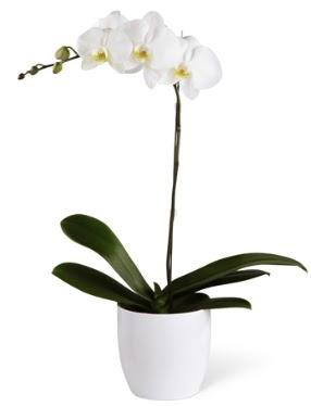 1 dallı beyaz orkide  Malatya güvenli kaliteli hızlı çiçek