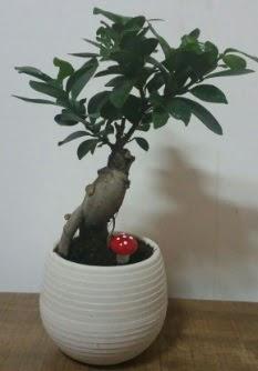 Bonsai japon ağacı saksı çiçeği  Malatya hediye çiçek yolla