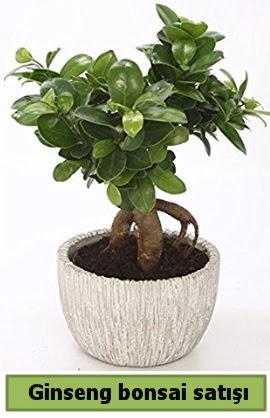 Ginseng bonsai japon ağacı satışı  Malatya internetten çiçek satışı