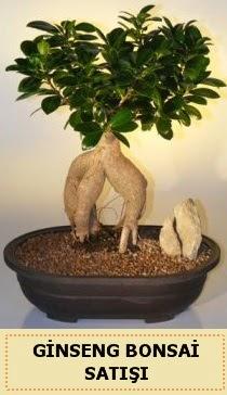 İthal Ginseng bonsai satışı japon ağacı  Malatya cicekciler , cicek siparisi