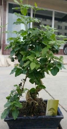 Bonsai japon ağacı saksı bitkisi  Malatya hediye sevgilime hediye çiçek