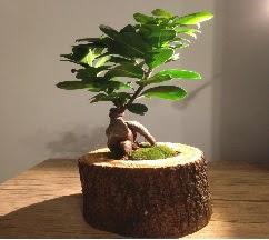 Doğal kütükte Bonsai japon ağacı satışı  Malatya uluslararası çiçek gönderme