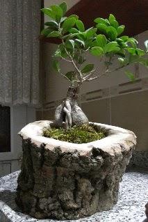 Ahşap kütük içerisinde ginseng bonsai  Malatya anneler günü çiçek yolla