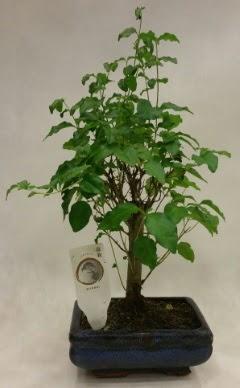 Minyatür bonsai japon ağacı satışı  Malatya internetten çiçek satışı