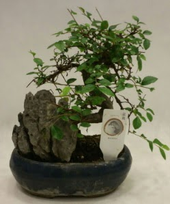 İthal 1.ci kalite bonsai japon ağacı  Malatya çiçekçiler