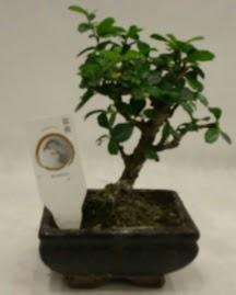 Küçük minyatür bonsai japon ağacı  Malatya çiçek siparişi sitesi