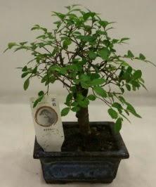Minyatür ithal japon ağacı bonsai bitkisi  Malatya çiçekçiler