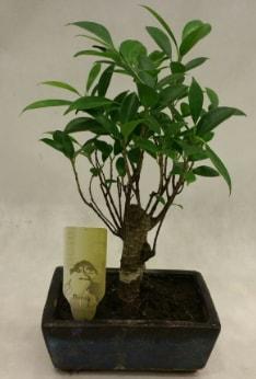 Japon ağacı bonsai bitkisi satışı  Malatya internetten çiçek satışı