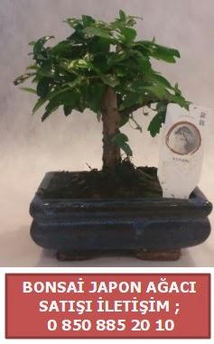 Japon ağacı minyaür bonsai satışı  Malatya çiçekçiler