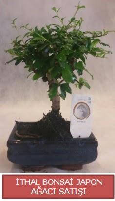 İthal küçük boy minyatür bonsai ağaç bitkisi  Malatya internetten çiçek satışı