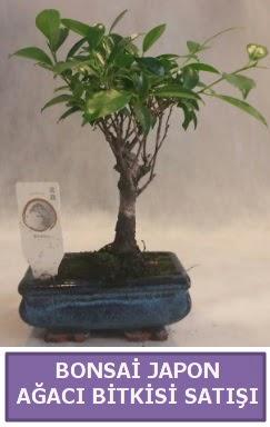 İthal Bonsai japon ağacı bitkisi satışı  Malatya ucuz çiçek gönder