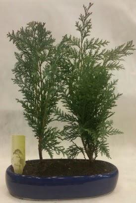 SINIRLI SAYIDA Selvi Ağacı bonsai ikili  Malatya internetten çiçek satışı
