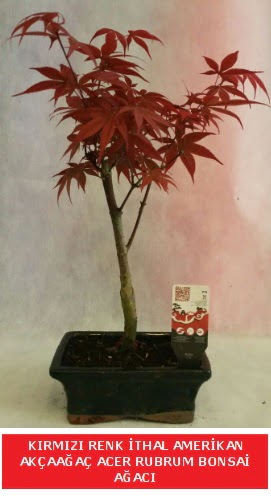 İTHAL ACER RUBRUM BONSAİ AĞACI  Malatya hediye çiçek yolla