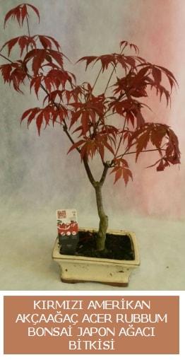 Amerikan akçaağaç Acer Rubrum bonsai  Malatya kaliteli taze ve ucuz çiçekler