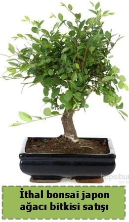 İthal bonsai saksı çiçeği Japon ağacı satışı  Malatya ucuz çiçek gönder