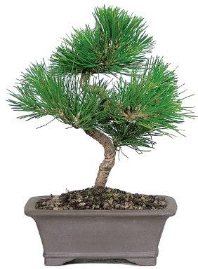 Çam ağacı bonsai japon ağacı bitkisi  Malatya çiçek siparişi sitesi