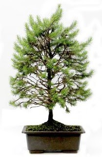 *** STOKTA YOK - Çam ağacı bonsai bitkisi satışı  Malatya çiçek mağazası , çiçekçi adresleri